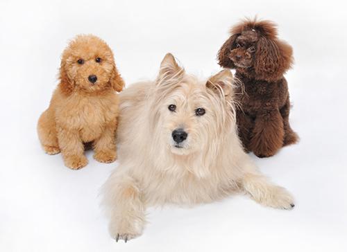 茶色の子犬2匹と白い犬1匹